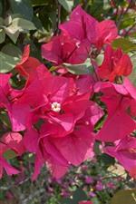 Vorschau des iPhone Hintergrundbilder Rote Blumen, Bougainvillea, Park