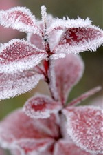 Preview iPhone wallpaper Red leaves, frost, ice crystal, winter