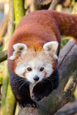 Preview iPhone wallpaper Red panda walk to you, front view