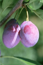 Ripe plums, green leaves