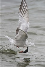 Preview iPhone wallpaper Seagull catching fish, lake, water