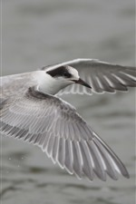 Preview iPhone wallpaper Seagull flight, wings, feathers