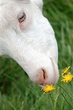 Preview iPhone wallpaper Sheep and yellow flowers