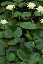 Preview iPhone wallpaper Some white water lilies flowers, pond