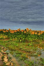 Preview iPhone wallpaper Sunflowers field, water, summer, clouds