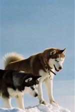 Three dogs, husky, snow