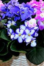 Violets, colorful flowers, pink and purple
