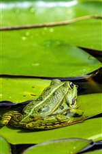 Preview iPhone wallpaper Water lily leaves, frog, pond