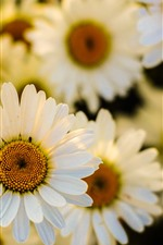 Preview iPhone wallpaper White daisies, many flowers
