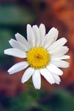 Preview iPhone wallpaper White daisy, petals, hazy