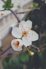 Preview iPhone wallpaper White peach flowers, petals, twigs, spring