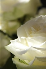 Preview iPhone wallpaper White rose close-up, petals, light