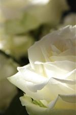 iPhone壁紙のプレビュー 白いバラのクローズアップ、花びら、光