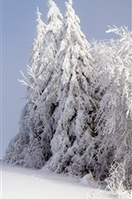 White snow, trees, winter