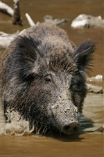 Preview iPhone wallpaper Wildlife, boar, dirty water