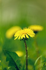 Preview iPhone wallpaper Yellow dandelions flowers macro photography, spring