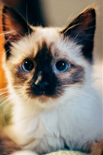 Preview iPhone wallpaper Cute furry kitten, blue eyes