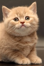 Preview iPhone wallpaper Cute furry kitten, look, pet