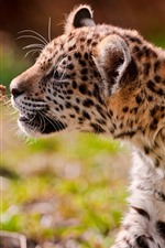 Cute jaguar cub, walk