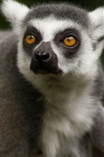 Preview iPhone wallpaper Cute lemur, face, look back, eyes