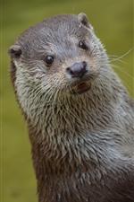 Cute otter, look