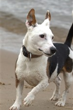 Preview iPhone wallpaper Dog, beach, sea, walk