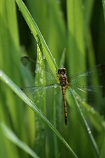 Preview iPhone wallpaper Dragonfly, green grass, insect