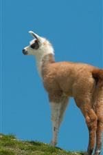 Grass, sky, llama