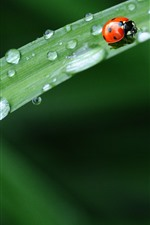 Green grass leaf, ladybug, water droplets