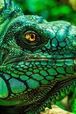 Green iguana, head, eyes