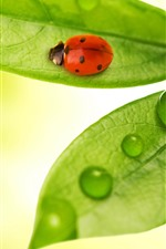 Green leaves, ladybug, water droplets