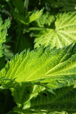 Preview iPhone wallpaper Green nettle leaves close-up, plants