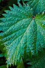 Green nettle leaves