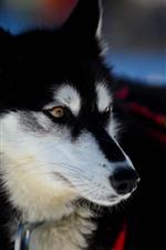 Husky dog, hazy background