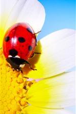 Ladybug, daisy, petals, blue background