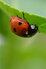 Preview iPhone wallpaper Ladybug, green leaf, insect, hazy