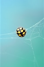 Preview iPhone wallpaper Ladybug, web, insect