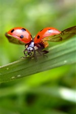 Ladybug, wings, green leaves