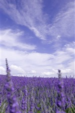 Preview iPhone wallpaper Lavender field, purple flowers, sky, clouds