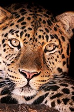 Preview iPhone wallpaper Leopard, face, front view, black background