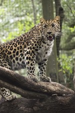 Leopard, zoo, wood