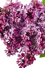 Lilac, many purple flowers, white background