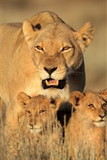 Preview iPhone wallpaper Lion family, cubs, bushes