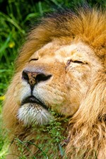 Preview iPhone wallpaper Lion sleep, mane, grass