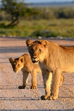 Preview iPhone wallpaper Lioness, cub, sunshine