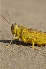 Preview iPhone wallpaper Locust, insect