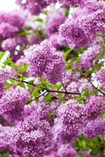 Many pink lilac flowers, twigs, spring