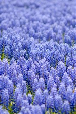 Preview iPhone wallpaper Many purple muscari flowers