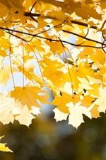 Muitas folhas de bordo amarelo, galhos, outono dourado
