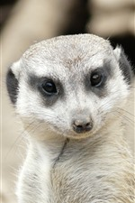 Preview iPhone wallpaper Meerkat look at you, face, eyes